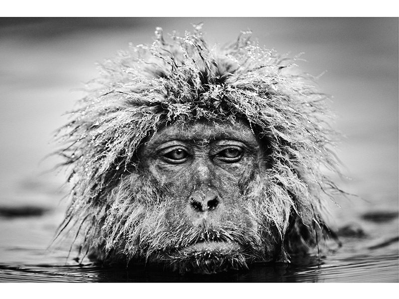 This <i>Grumpy Monkey</i> (2013), photographed in Japan's Jigokudani National Park, seemingly captures the animal's mood. Photograph: ©David Yarrow Photography