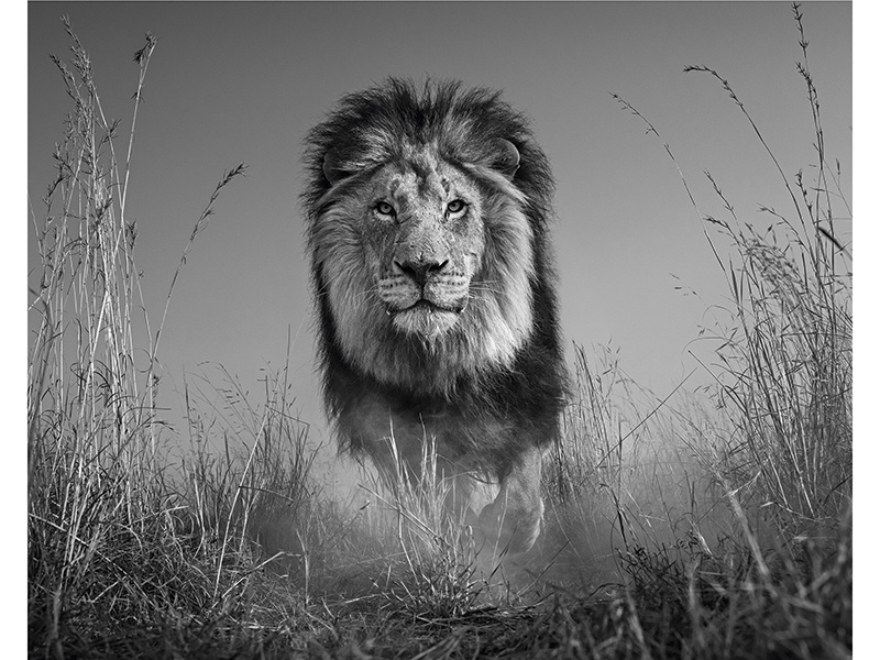 "For <i>The King and I</i> (2016), David Yarrow placed his camera low to the ground and used a remote. ""The closer the camera to the lion, the more immersive the image and the more detail we can see in the lion's face,"" Yarrow says. Photograph: ©David Yarrow Photography"