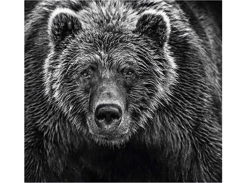The Alaskan brown bear in <i>Face Off</i> (2016) fills the frame completely. Photograph: ©David Yarrow Photography