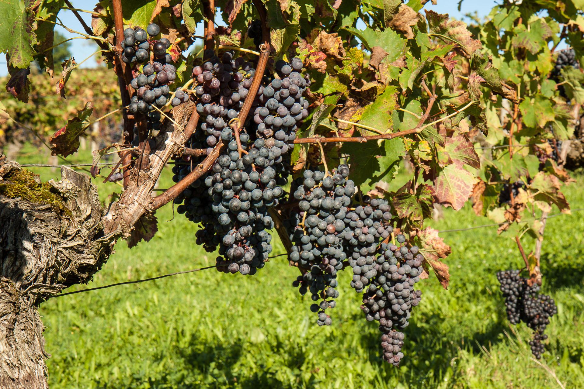 Vineyard in Bordeaux, France
