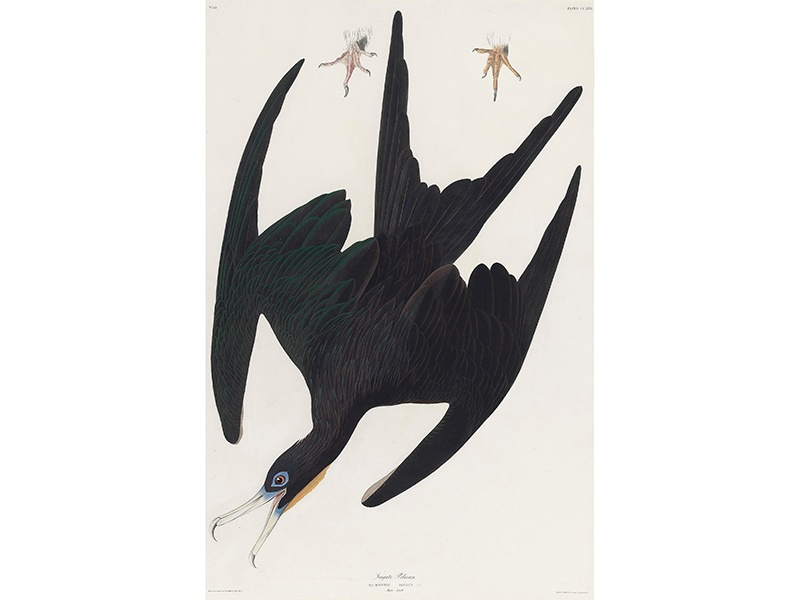 The auction includes plates from John James Audobon's <i>The Birds of America 1827-38</i>, one of the finest ornithological works ever completed, such as <i>Frigate Pelican</i>, (estimate £7,000–£10,000). Image: Christie's Images Ltd. 2017