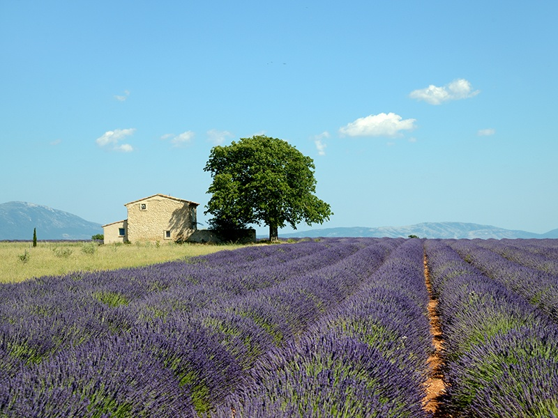 Lavender season runs from June through August in the Luberon in Provence. Photograph: Getty Images