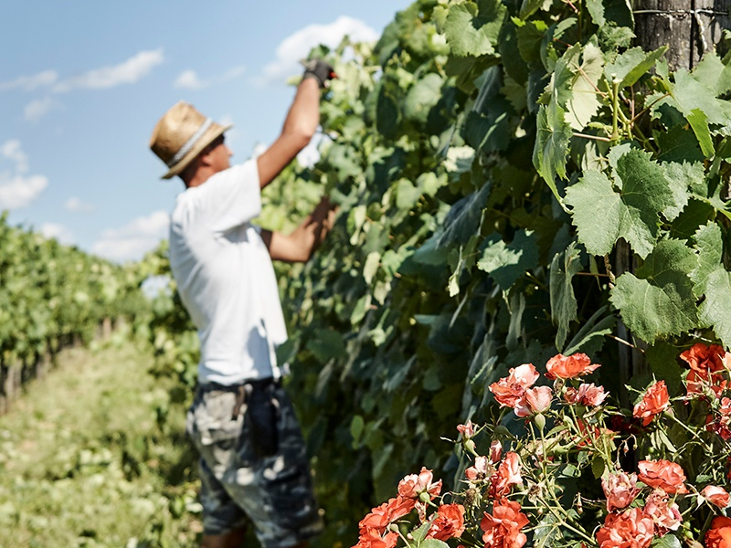Careful and expert hand-harvesting contributes to the character of the wines made at Il Palagio. Photograph: Fabrizio Cicconi