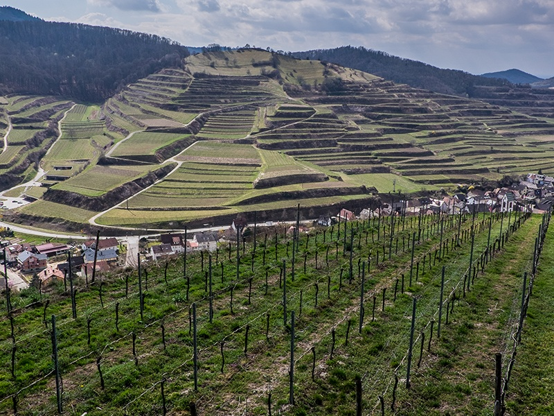Reisling is one of the varieties grown in the volcanic region of Kaiserstuhl in Germany, where vines are mostly planted on terraces. Photograph: John Szabo