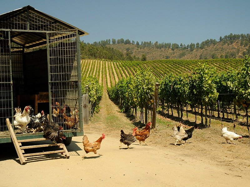 Matetic Vineyards uses animals in its vineyards to keep weeds and bugs in check. Photograph courtesy Matetic Vineyards