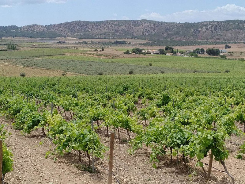 This Murcia winery - on the market with Rimontgó - boasts around 74 acres (30 hectares) of vineyards, with Mediterranean and French grape varieties that include Grenache, Shiraz, and Merlot.