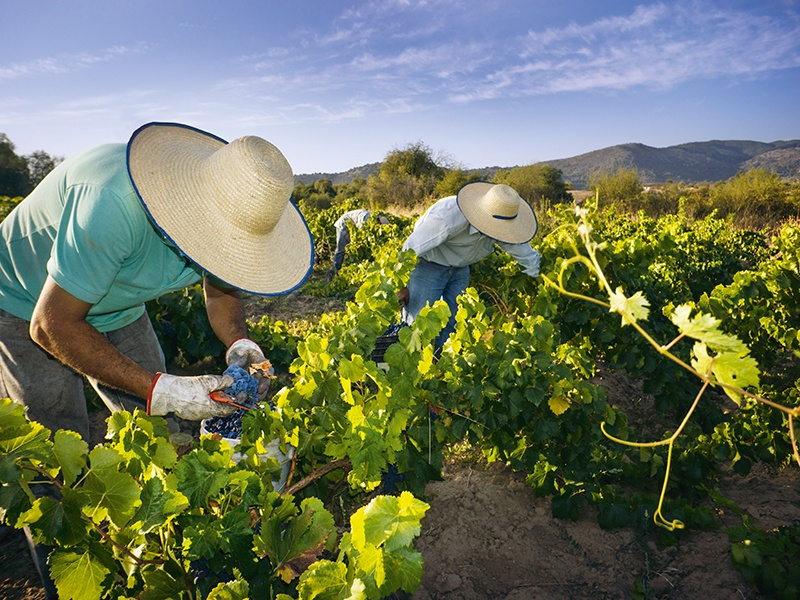 "Traditional winemaking methods, such as harvesting the grapes by hand, typify the attitude of Andrés Sánchez, creator of ""Chile's first appellation."" Photograph: Cephas"