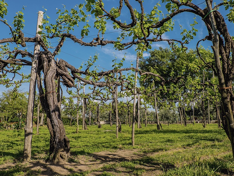 A 300-year-old vine in Campania grows in the shadow of Mount Vesuvius. Photograph: John Szabo