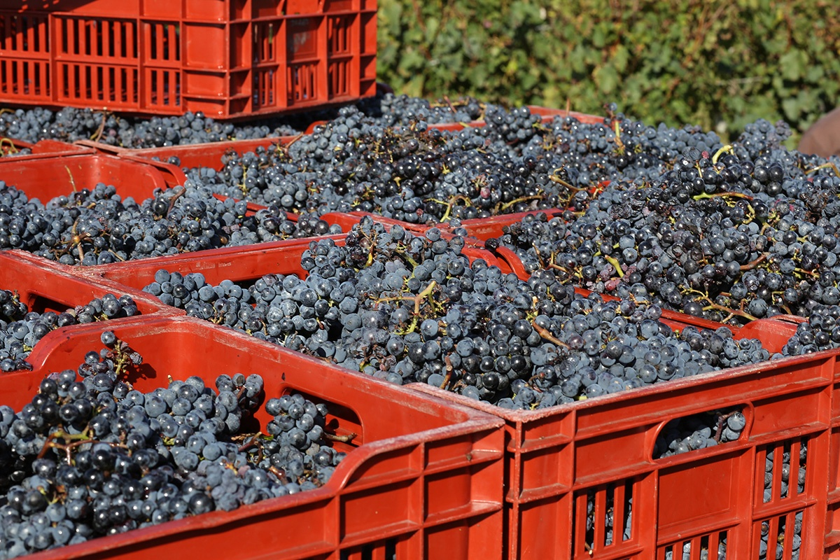 Vineyard management options range from a farm lease, where the land and vines are rented to another grower, to contracts for expert vineyard managers and winemakers—to growing grapes, and winemaking, and marketing it all yourself.