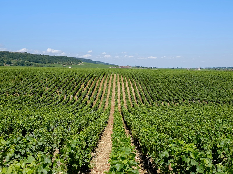 From Grand Cru vineyards between Beaune and Dijon, the legendary Domaine de la Romanée-Conti crafts sought-after white and red wines. Photograph: Getty Images