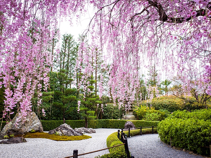 Cherry blossom season is short—the flowers usually bloom between the end of March and the middle of April—and is celebrated because its beauty symbolizes new beginnings. Photograph: Getty Images
