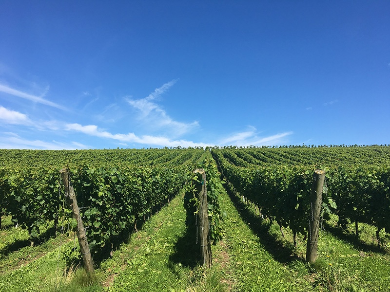 Wiston Estate's vines are located on land that closely resembles the physical and chemical composition of the Côte de Blancs region in Champagne.