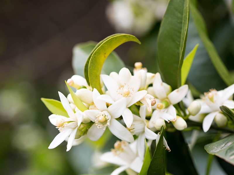 Orange blossom, or <i>flor de azahar</i> in Vallejo's native Spanish, is a key element in the <i>bustan</i> garden—typically a place of rest and reflection. Photograph: Alamy