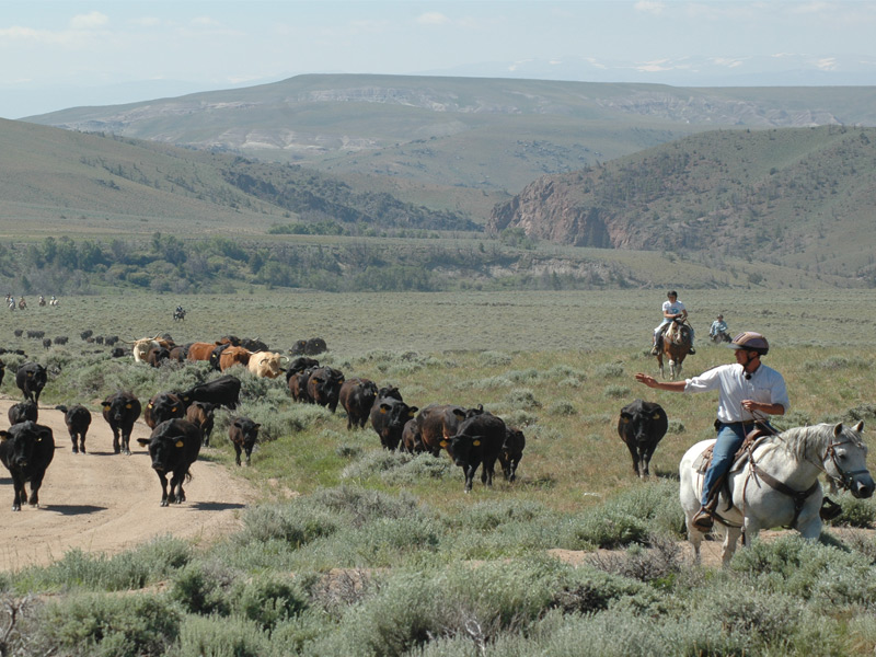 A cattle drive at Bitterroot Ranch in Wyoming. Photograph: Richard Fox