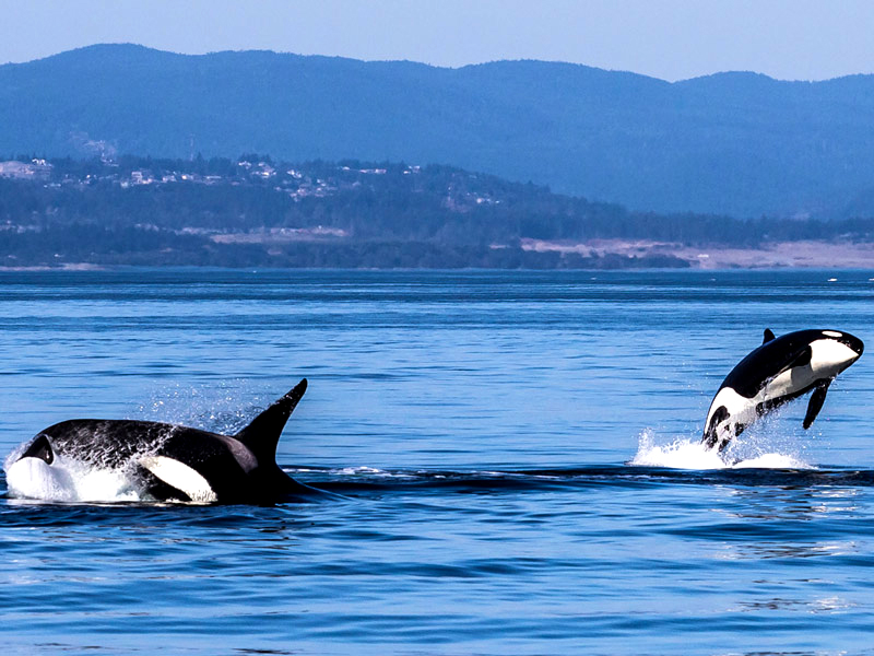 """With a number of pods of """"resident"""" killer whales in its surrounding waters, Victoria provides ample opportunity for whale watching."""